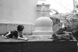 03-A volte cani e scimmie condividono lo stesso territorio a Swayambhunath, Kathmandu