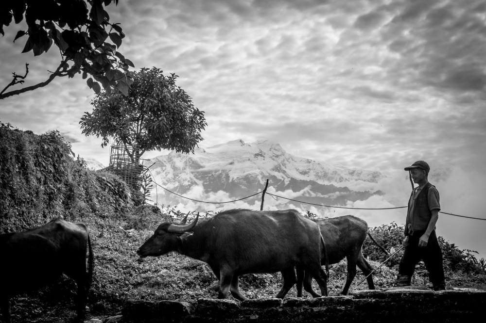 08-Pastore di bufali nei pressi di Ghalegaun