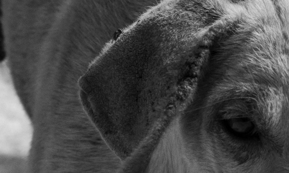 Una mosca posata sull'orecchio di un cucciolo, Joal Fadiouth, Senegal ©Alessio Chiodi