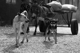 Alcuni cani seguono i loro padroni durante i lavori. In questo caso due animali seguono un carro trainato da un asino, Joal Faidouth, Senegal ©Alessio Chiodi